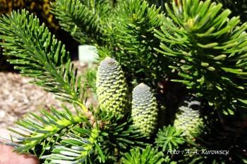 Drzewa I Krzewy Ozdobne Ogrody Rośliny Ogrodowe Iglaki Zdjęcia